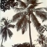 Cocospalme - Cylon