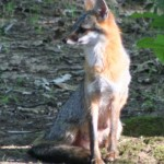 Gray Fox in the Sun