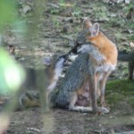 Gray Fox with Pup